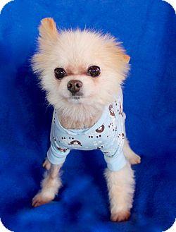 Pomeranian Mix Dog for adoption in Irvine, California - Signal