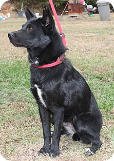 Flat-Coated Retriever/Labrador Retriever Mix Puppy for adoption in East Dover, Vermont - Lolo