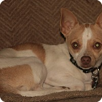 Chihuahua Mix Puppy for adoption in Flossmoor, Illinois - Leon