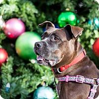 Adopt A Pet :: JUSTICE  2 1/2 YR STAFFORDSHIR - Mesa, AZ