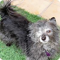 Adopt A Pet :: Bella - Las Vegas, NV