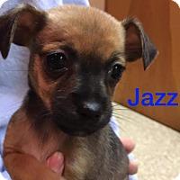 Adopt A Pet :: Jazz - Glastonbury, CT