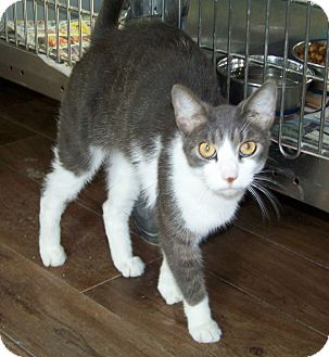 Domestic Shorthair Cat for adoption in Dover, Ohio - Ziggy