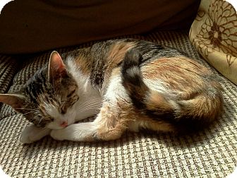 Calico Kitten for adoption in St. Louis, Missouri - Gustine