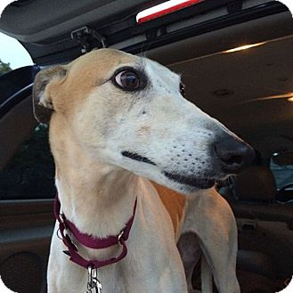 Greyhound Dog for adoption in Oklahoma City, Oklahoma - Pumpkin Pie