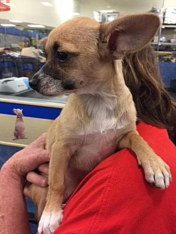 Terrier (Unknown Type, Medium)/Chihuahua Mix Dog for adoption in Fresno, California - Hayley