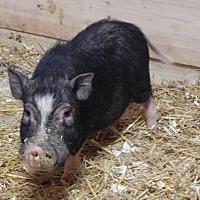 Adopt A Pet :: Rafiki - Woodstock, IL