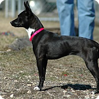 Adopt A Pet :: Flash - Buffalo, WY
