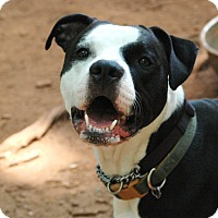 Staffordshire Bull Terrier Mix Dog for adoption in Lawrenceville, Georgia - Lucas