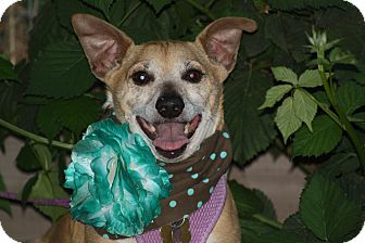 Dachshund Mix Dog for adoption in Stockton, California - **BUDDY** Good Sr. Companion
