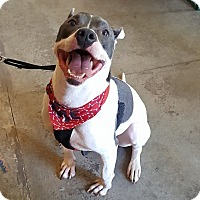 Pit Bull Terrier Mix Dog for adoption in Fincastle, Virginia - Harley