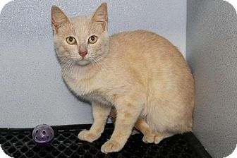 Domestic Shorthair Cat for adoption in Mount Sterling, Kentucky - Carson