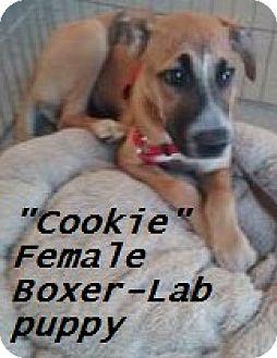 Boxer/Labrador Retriever Mix Puppy for adoption in El Cajon, California - Cookie (in adoption process)