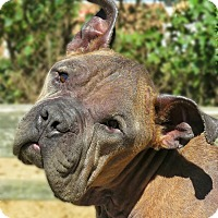 Bulldog Mix Dog for adoption in West Babylon, New York - Vito
