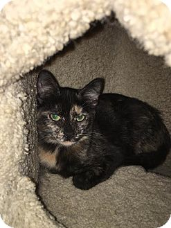 Domestic Shorthair Kitten for adoption in Westminster, California - Chloe