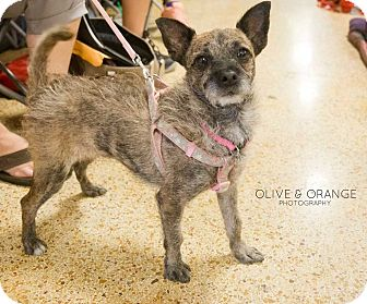 Wirehaired Fox Terrier/Cairn Terrier Mix Dog for adoption in Concord, California - Shenzi