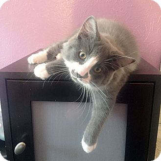 Domestic Mediumhair Kitten for adoption in Arlington/Ft Worth, Texas - Miso