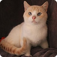 Siamese Cat for adoption in Morehead, Kentucky - Basil ADULT MALE
