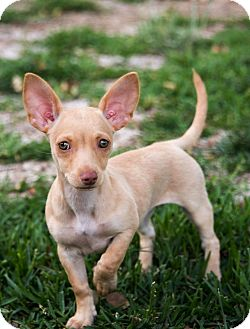Jack Russell Terrier/Chihuahua Mix Puppy for adoption in La Habra Heights, California - Sophie