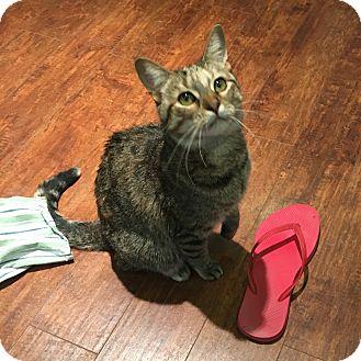 Domestic Shorthair Cat for adoption in Toronto, Ontario - Maya