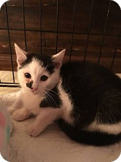 Domestic Shorthair Kitten for adoption in Bedford Hills, New York - Barney
