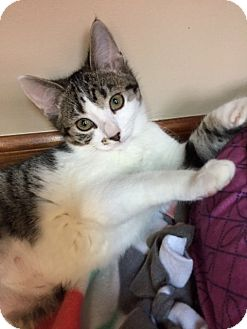 Domestic Shorthair Kitten for adoption in Maywood, Illinois - Zobrist