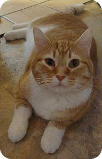 Domestic Shorthair Cat for adoption in Rochester, Minnesota - Lovey