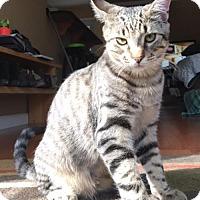 Adopt A Pet :: Bongo - Hampton, VA