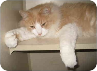 Domestic Longhair Cat for adoption in Mesa, Arizona - Johnnie