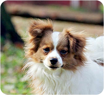king pomeranian zach adopted dog south amboy nj cavalier king 2154