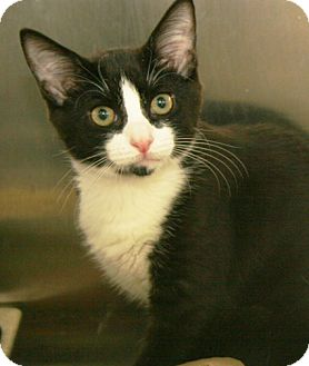 Domestic Shorthair Kitten for adoption in Secaucus, New Jersey - Girl