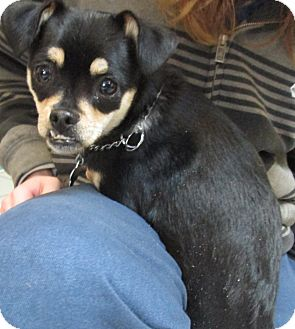 Chihuahua Mix Dog for adoption in Forked River, New Jersey - Martha