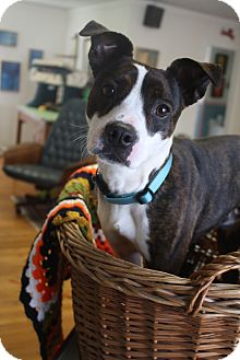 Boston Terrier/Jack Russell Terrier Mix Dog for adoption in Knoxville, Tennessee - Rocky