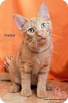 Domestic Shorthair Cat for adoption in St Louis, Missouri - Pretzel