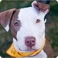 Adopt A Pet :: Playboy - Reisterstown, MD