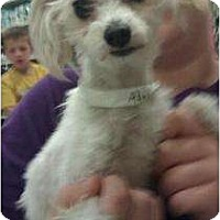 Adopt A Pet :: Adelaide - Phoenix, AZ