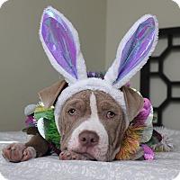 Adopt A Pet :: Dandie - Mission Viejo, CA
