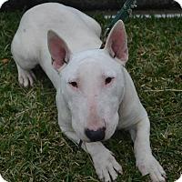 Adopt A Pet :: Bowzer - Houston, TX