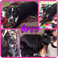 Adopt A Pet :: Oreo in  CT - Manchester, CT