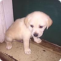 Adopt A Pet :: Han - New Oxford, PA
