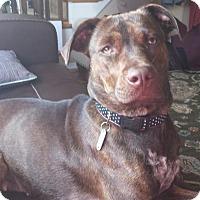 Adopt A Pet :: Shelby - Manhasset, NY