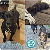 Adopt A Pet :: Baloo - Kimberton, PA