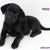 Adopt A Pet :: Whitt - Bloomington, MN