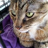 Adopt A Pet :: Bella - Queensbury, NY