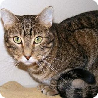 Domestic Shorthair Cat for adoption in Denver, Colorado - Patriot