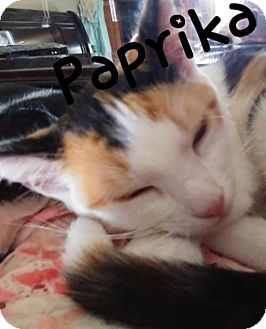 Calico Cat for adoption in Walnut Creek, California - Paprika