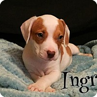 Adopt A Pet :: Ingrid - Dallas, TX
