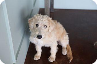 Dachshund Mix Puppy for adoption in San Antonio, Texas - Snoopy