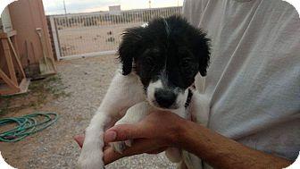 Border Collie/Labrador Retriever Mix Puppy for adoption in Tumwater, Washington - Sabrina, Romeo and shadow