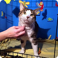Domestic Shorthair Cat for adoption in Lombard, Illinois - Mikey